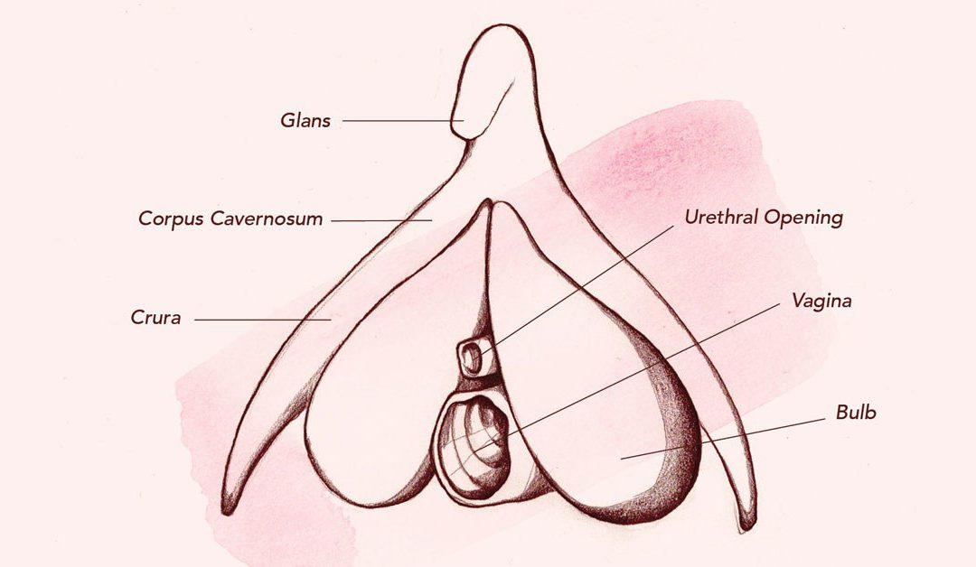 anatomia del clitoris por sexologos valencia historia sexual