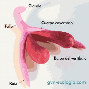 clitoris anatomia por sexologos valencia